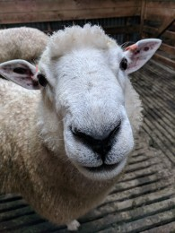 Sheep looking at camera - one of AgResearch's flock of low-methane emitting sheep