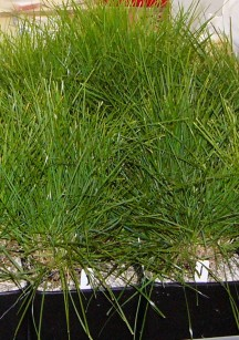 Ryegrass in containers